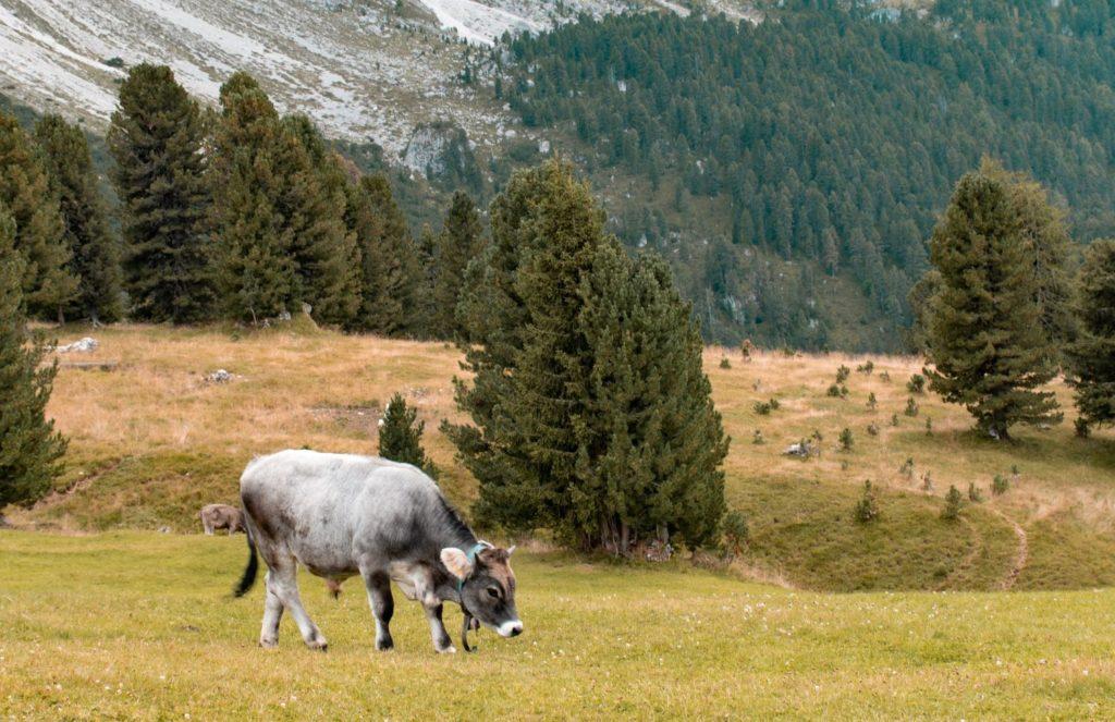 Rifugio-delle-Odle-mucca-pascolo